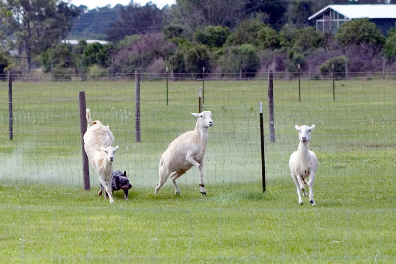 #320 Sandhill's Truly Unruly, Australian Cattle Dog. Truly works to get the sheep away from the fence.