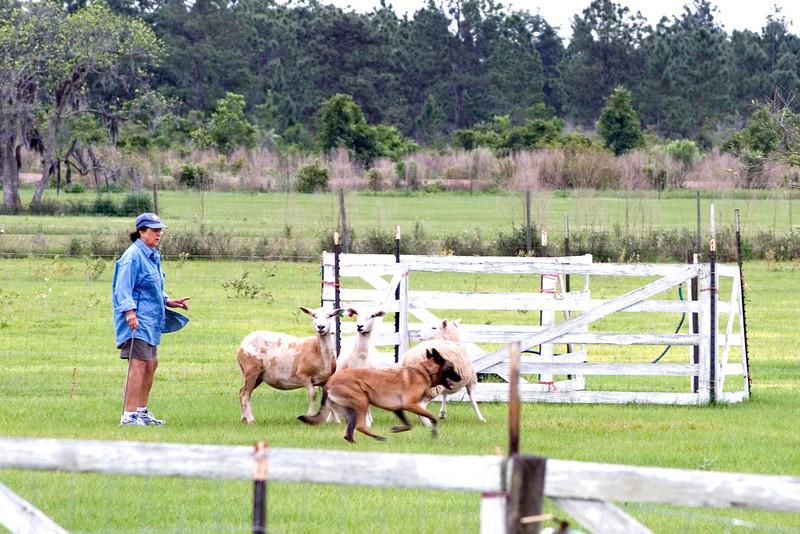 #303 Xtiva Outbk Ot Vitosha, a Belgian Malinois.  Tiva moves the sheep near the panel runway.