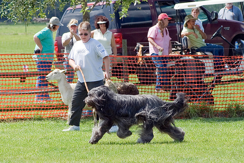 #104 Chaotic's Vision In Gray, Briard, is owned and handled by Michelle Holmes.  Harry and Michelle work together to complete the HT course.