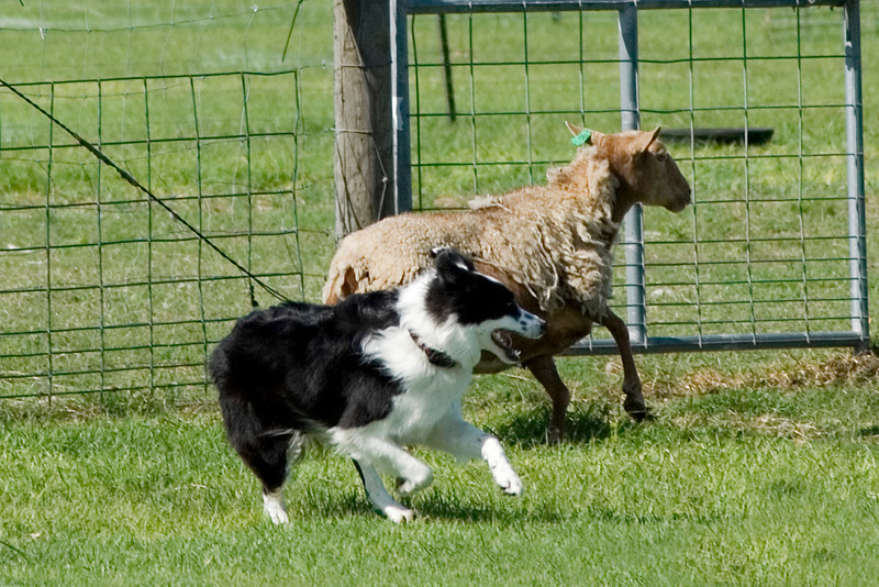 #205 DD Buddy DeBellis, Border Collie.  Buddy moves one of the sheep away from the pick-up area on the PT course.