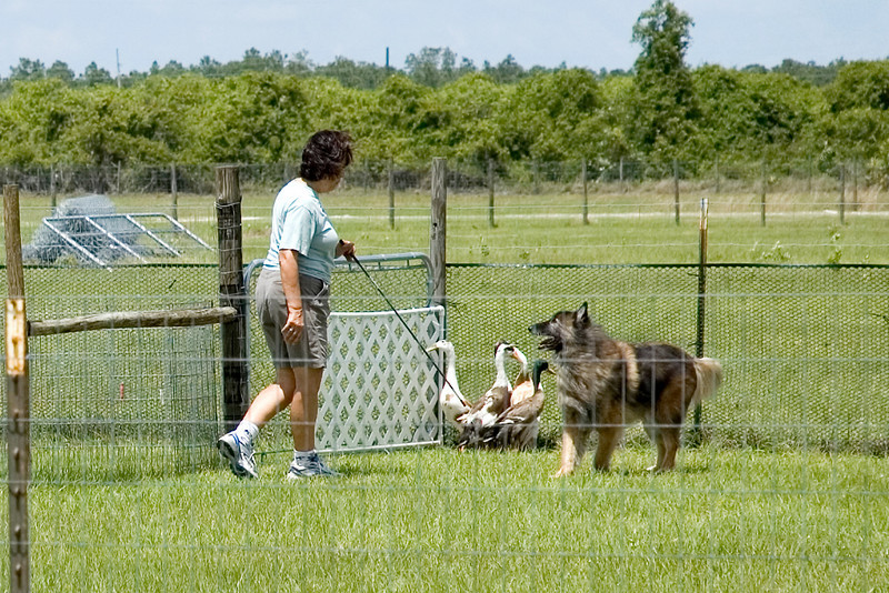 #351 Toleens N Hitimes Smart Dart AX, AXJ, UDX, TDX, HSAs, a Belgian Tervuren.  Dart holds the ducks at the gate while Conni gets ready to open it, allowing the ducks to exit.