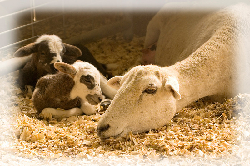 Twin newborn lambs with their mother, resting peacefully at Linden Hollow Sheep Farm