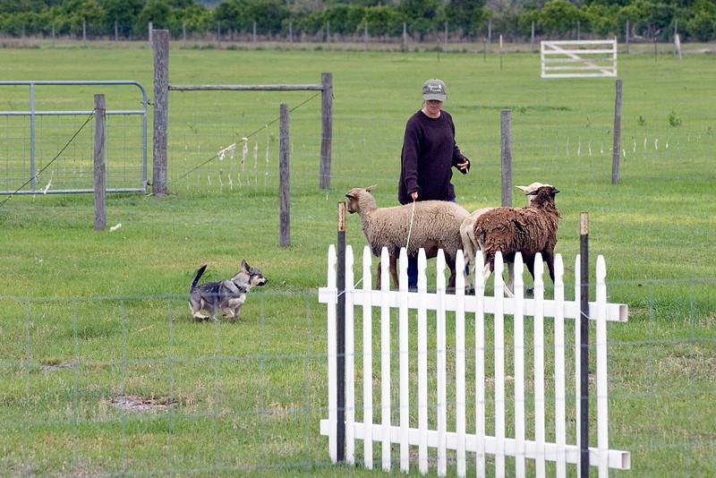 #203 Countten Tallysen, Swedish Vallhund. Tally drives the sheep around the panels.