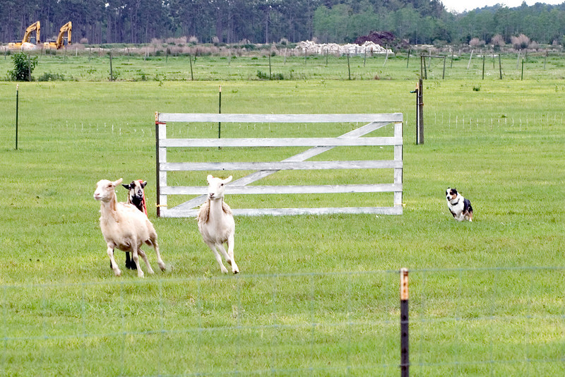 #305 Goin' Round One More Time, Pembroke Welsh Corgi. Gromit drives the sheep through the center-line gates.