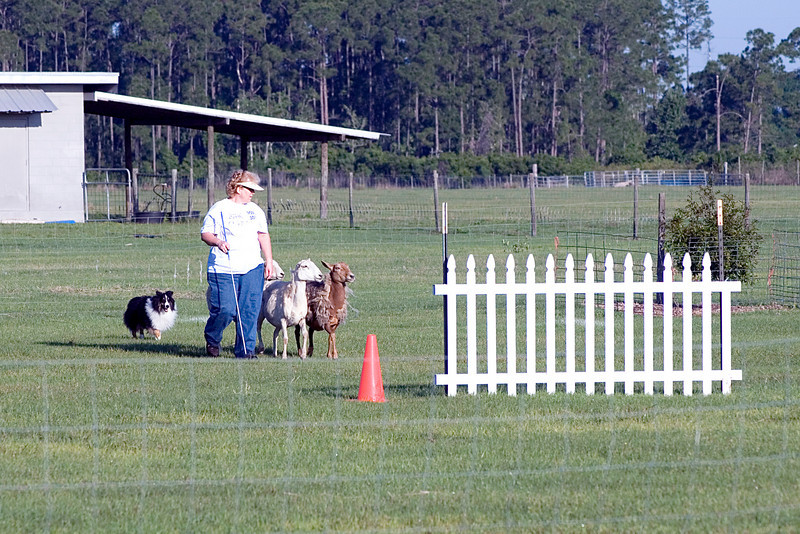 #300 Mighty Mac Linden, Shetland Sheepdog.  Mac drives the sheep towards the cross panels.