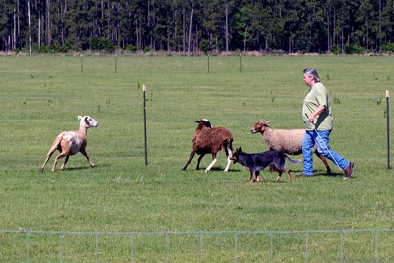 #206 Luaces Abby'Riginal, an Australian Cattle Dog. Abby makes sure that the third sheep comes back to the other two sheep.  Abby earned her PT title with this run.