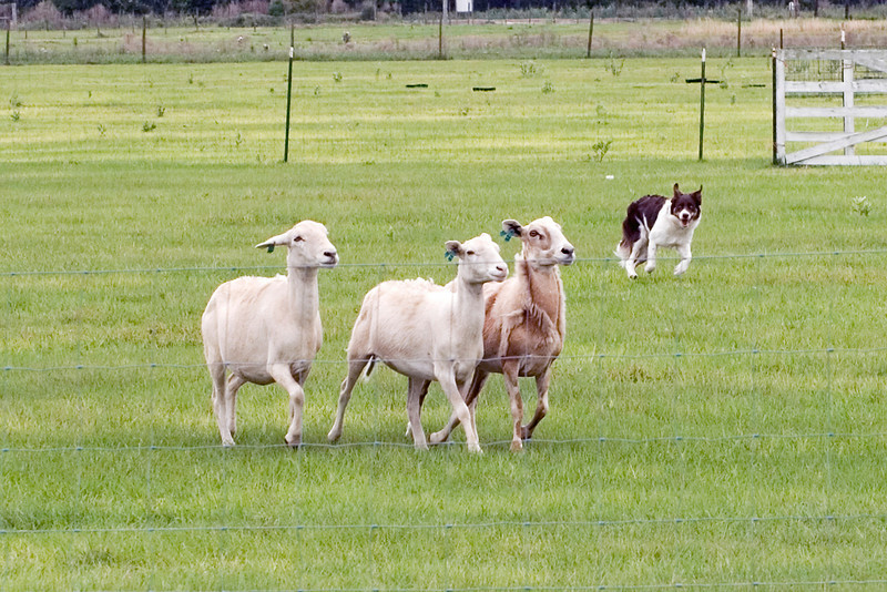 #403 Flash HSs, border Collie.  Flash moves the sheep across the field.