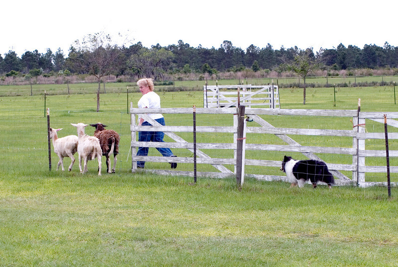 #301 Mighty Mac Linden, Shetland Sheepdog.  Mac and Nancy Olimpo move the sheep through the Started A course on Sunday.  The first obstacle is the Y chute.
