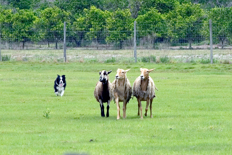 #320 Solo, Border Collie.  Solo moves the sheep on the Started Course B.  Solo listens to commands from her owner, Carol Tague.