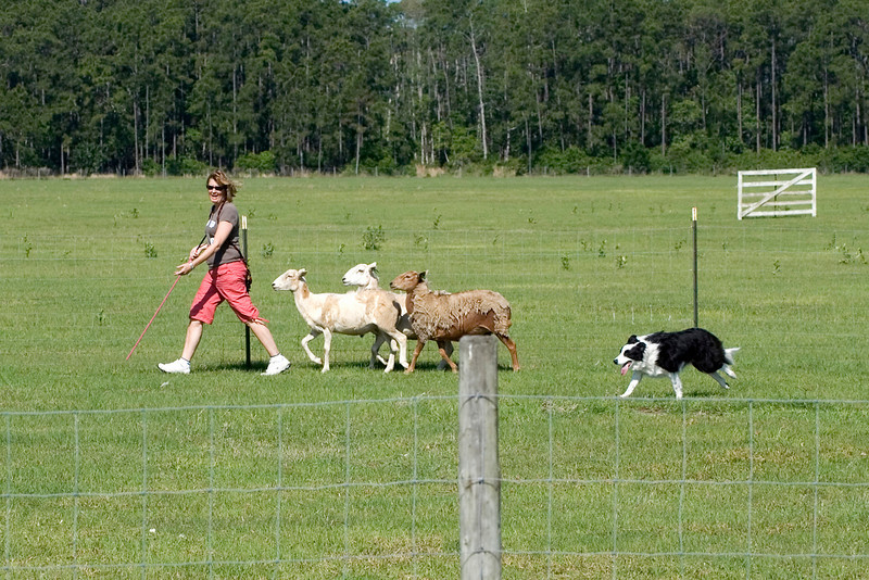 #205 DD Buddy DeBellis, Border Collie.  Buddy moves the sheep at a steady pace.