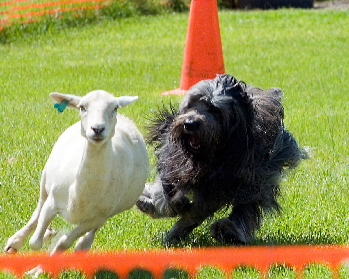 #104 Chaotic's Vision In Gray, Briard, is owned and handled by Michelle Holmes.  Harry showed his enthusiasm for herding.