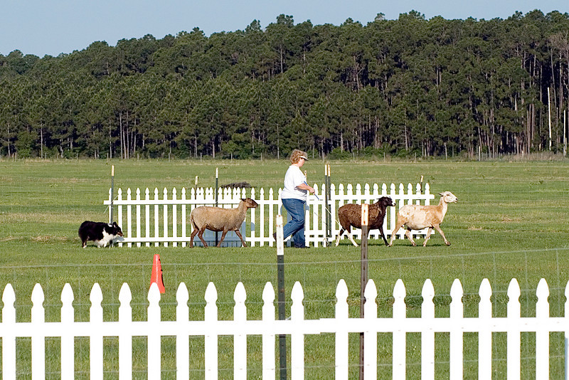 #301 Prince Bear, HT, Shetland Sheepdog. Bear and Nancy move the sheep up the field, towards the cross panels.