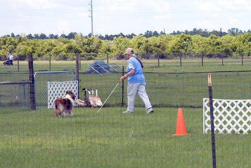 #353 Lucky Acre's Danielle, Shetland Sheepdog.  Danielle holds the ducks at the exhaust pen gate.