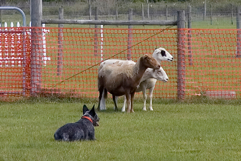 #100 Taylryder Sadie's Double Trouble, Australian Cattle Dog.  Sadie holds the sheep while in a down position.