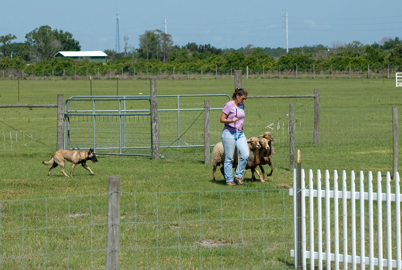 #102 Turicks Ewe Bet, Belgian Malinois. Cash and Carolyn move the sheep behind one of the panels on the PT course.