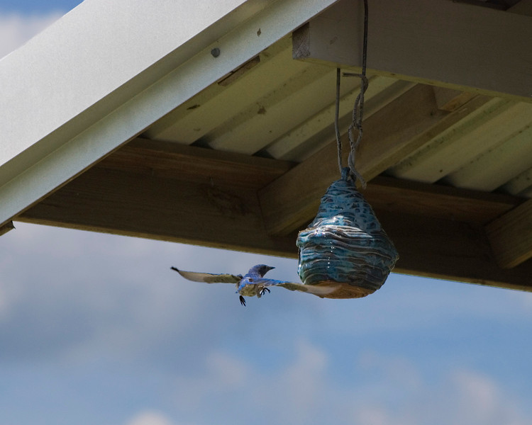 A mother bluebird kept a watchful eye on her chicks, in the birdhouse hanging on the sheep barn.