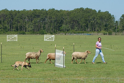 #102 Turicks Ewe Bet, Belgian Malinois. Cash and her owner, Carolyn Kaiser, work the sheep on the PT course.