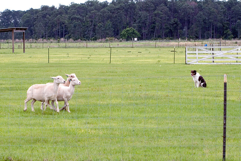 #403 Flash HSs, border Collie.  By sitting when commanded, Flash takes pressure off the sheep, allowing them to move in a controlled manner.