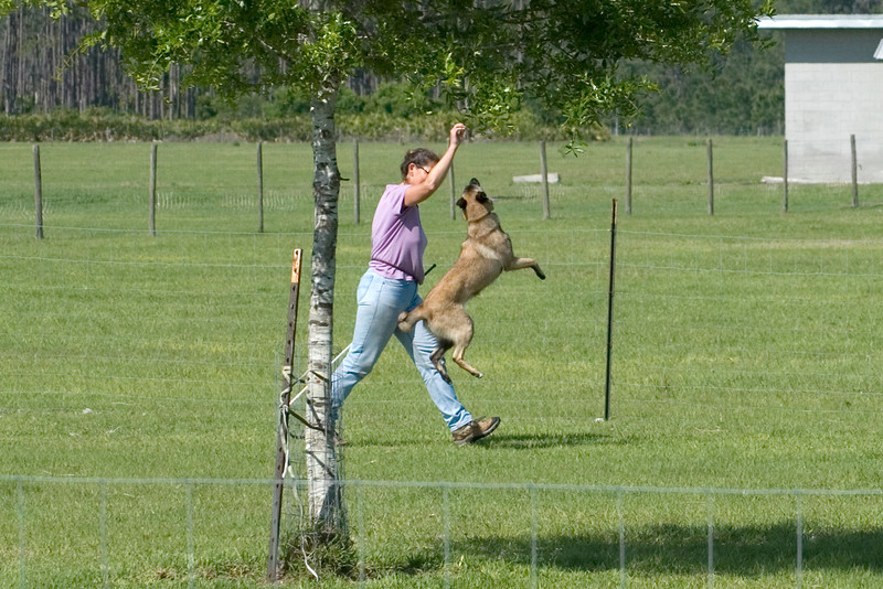 #102 Turicks Ewe Bet, Belgian Malinois. Cash and Carolyn have some high jumping fun at the end of the PT course.