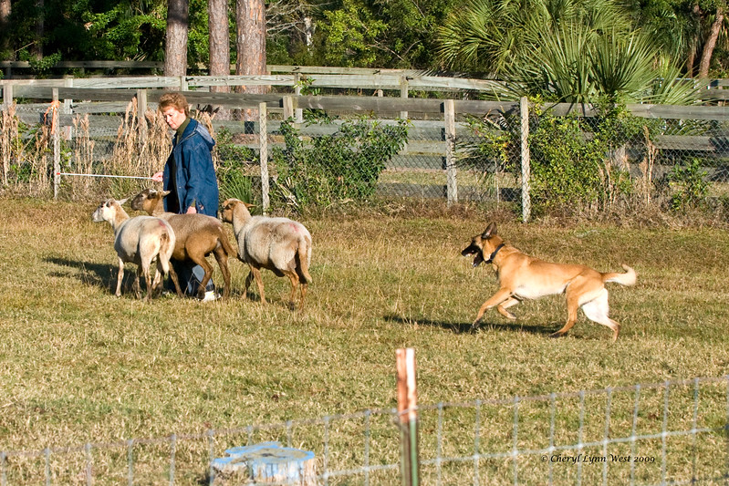 #12 - Branhaven's Bacchus, a Belgian Malinois, qualified on the JH course.  He is owned by Lisa Diehl.