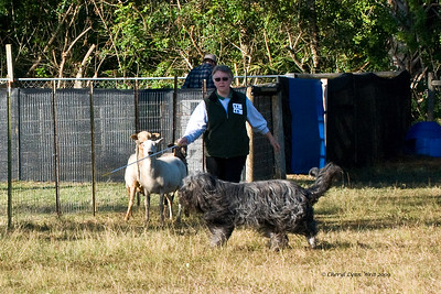 #15 - Chaotic's Vision In Grey HT, HCT, PT, a Briard, qualified on the JH course.  Harry is owned by James & Michelle Holmes.