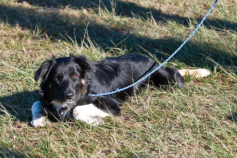Storm, an Australian Shepherd puppy, awaits his turn on the Ranch course.  He is owned by Karen Spriggs.