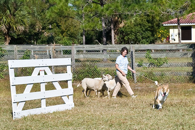 #1001 - Terrapin Kirklyn Secret Spice, a Smooth Collie bitch, works on a qualifying score on the PT course.  She is owned by Lynn McDermott & Carol Underwood.