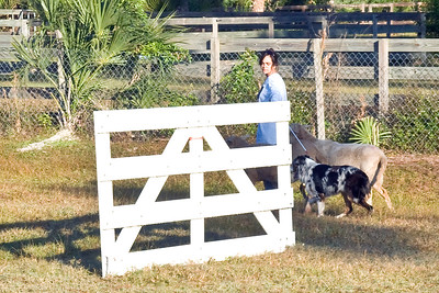 #1002 - Rainbow's Lil Miss Cheyenne Lovie Dovie, an Australian Shepherd, works on a qualifying score in PT.  She is owned and handled by Jacqueline Heinze.