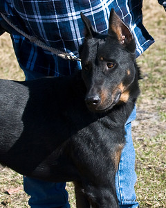 Brandy, a Beauceron, is handled by Kathey Warner