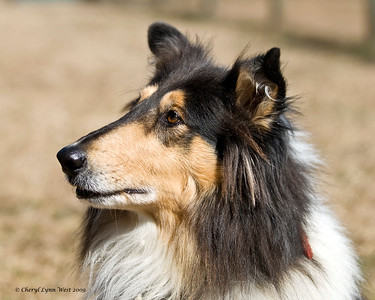 Bitsy, a blue merle Rough Collie, is owned and handled by Marylee Wood.