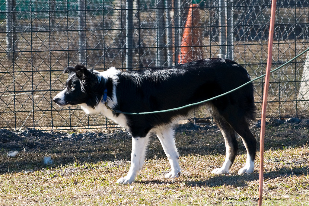 Raven, an Australian Shepherd
