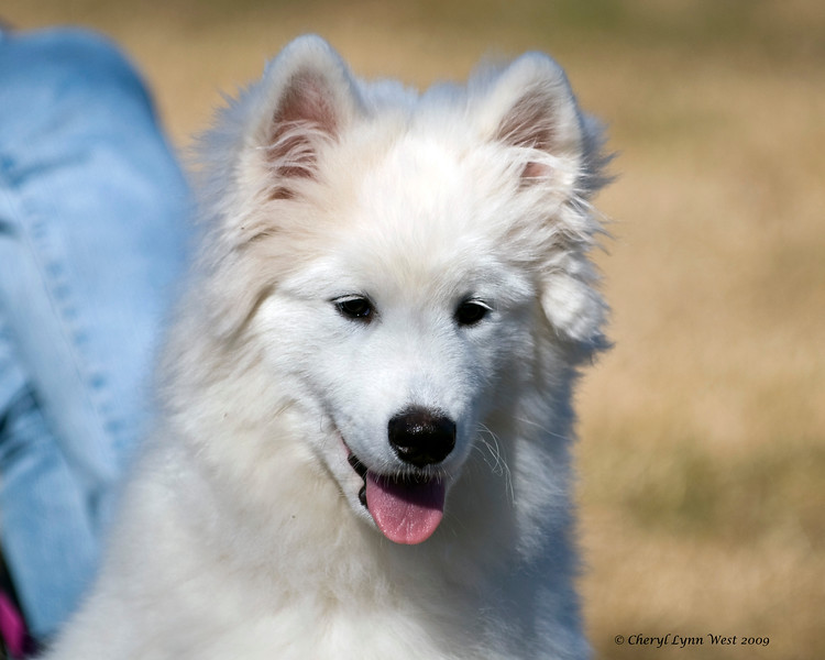 Pepper, a young Samoyed male, watches the herding