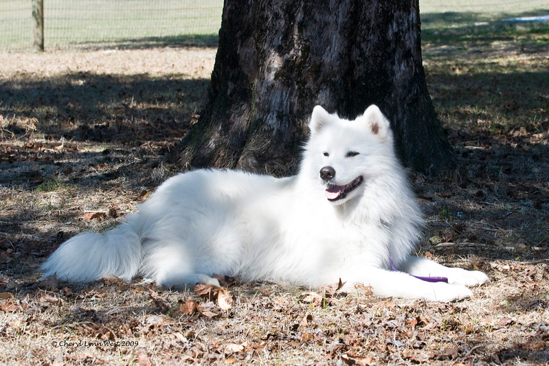 Lego, a Samoyed male, owned by Wanda Krauss