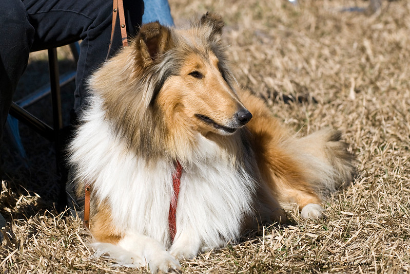 Spice, a sable Rough Collie, is owned and handled by Marylee Wood.