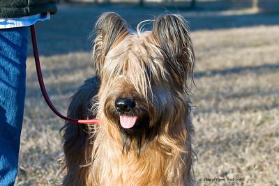 Bre, a Briard, is owned and handled by Michelle Holmes