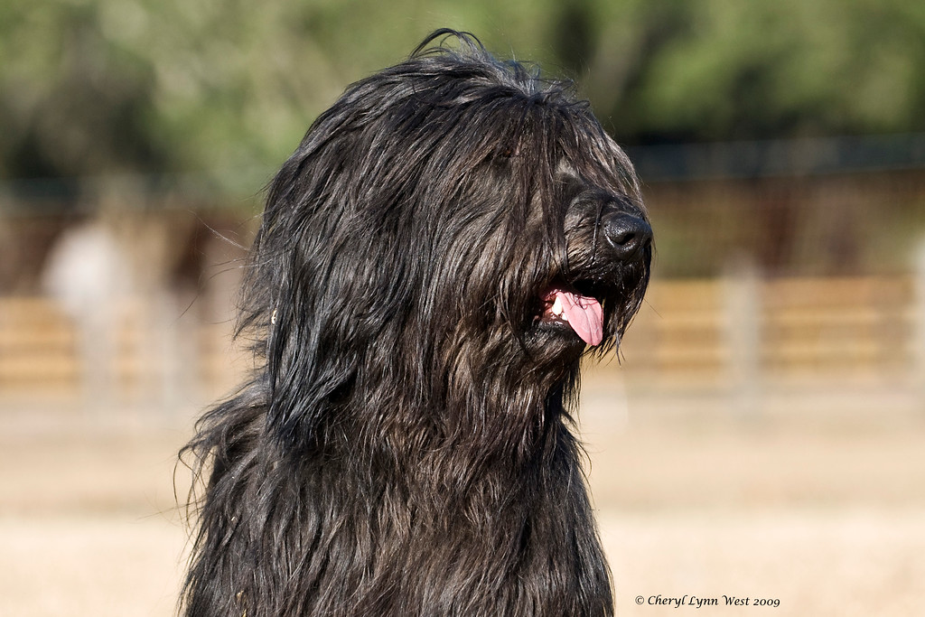 Lorilei, a Briard, is owned by Michelle & Jim Holmes and handled by Jim.