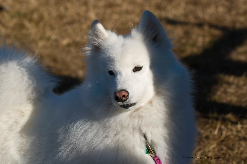 Rasia, a Samoyed bitch, is owned, handled and definitely loved by Cheryl Lynn West.
