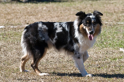 Face, an Australian Shepherd