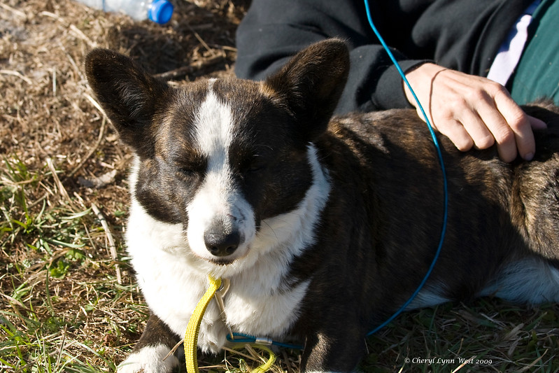 Carlin, a Cardigan Welsh Corgi, is owned and handled by Roberta Mckowen