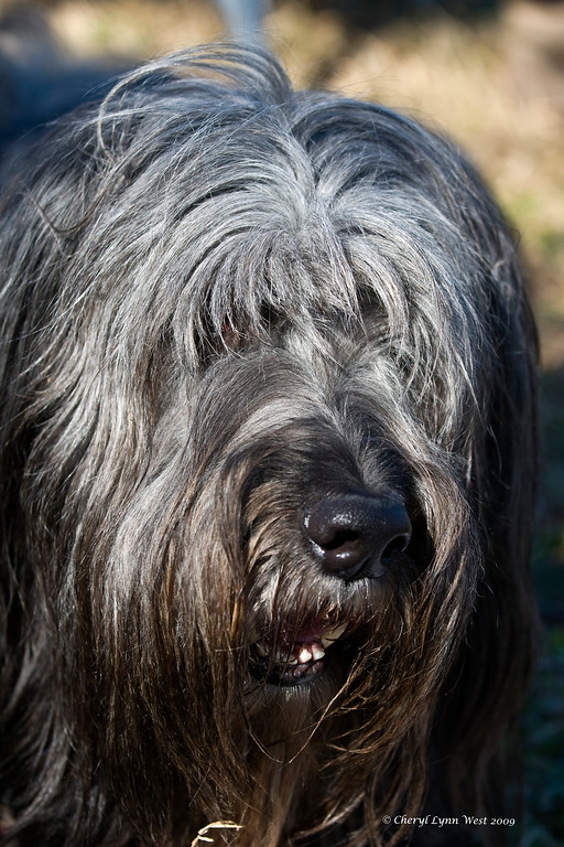 "Harry, a Briard, watched as his ""little sisters"" worked the sheep.  Harry is owned and loved by Michelle and Jim Holmes."