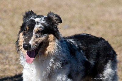 Face, a blue merle Australian Shepherd, is owned and handled by Kathy Warner