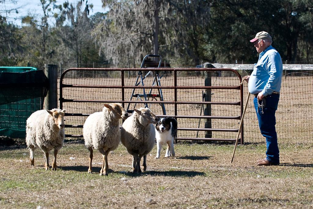 Bob Vest and his Australian Shepherd, Blue, move the stock.