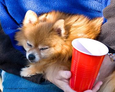 Flirt, a Pomeranian, must think herding is boring as she nods off to sleep.
