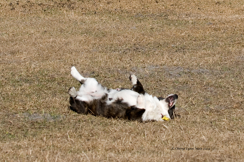 Carlin, a Cardigan Welsh Corgi, obviously enjoys the more humorous side of herding