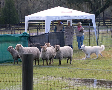 Almost done, Diva holds the sheep at the gate to the exhaust pen, until Louis joins them.