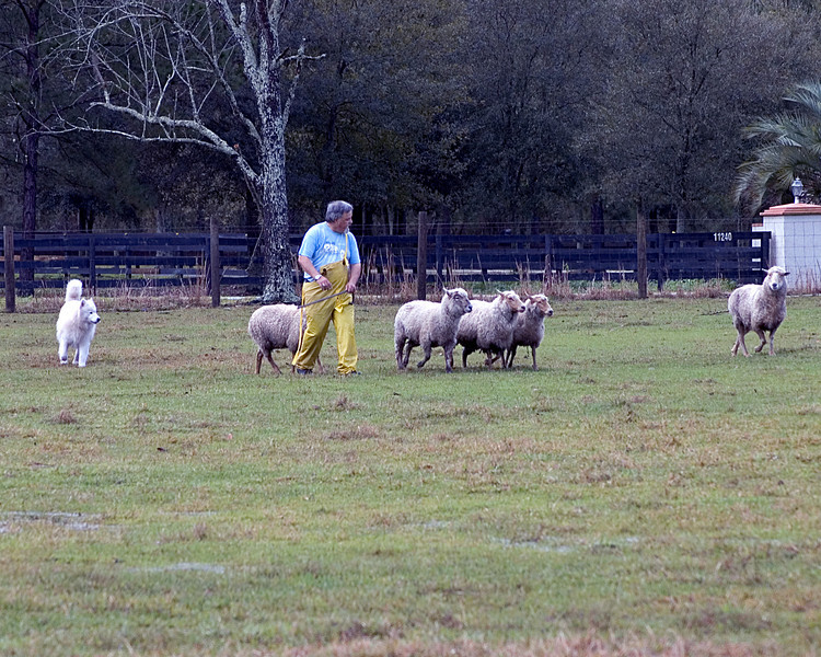 Cork drives the sheep behind Louis