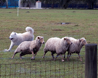 Once the sheep have been released from the pen, Cork moves them towards the exhaust pen.