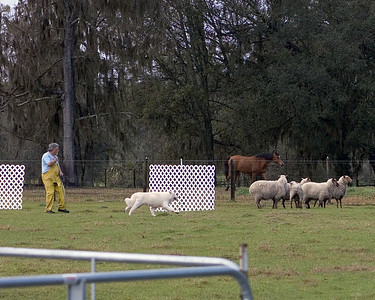 Diva goes towards the head of the sheep, to turn them back.