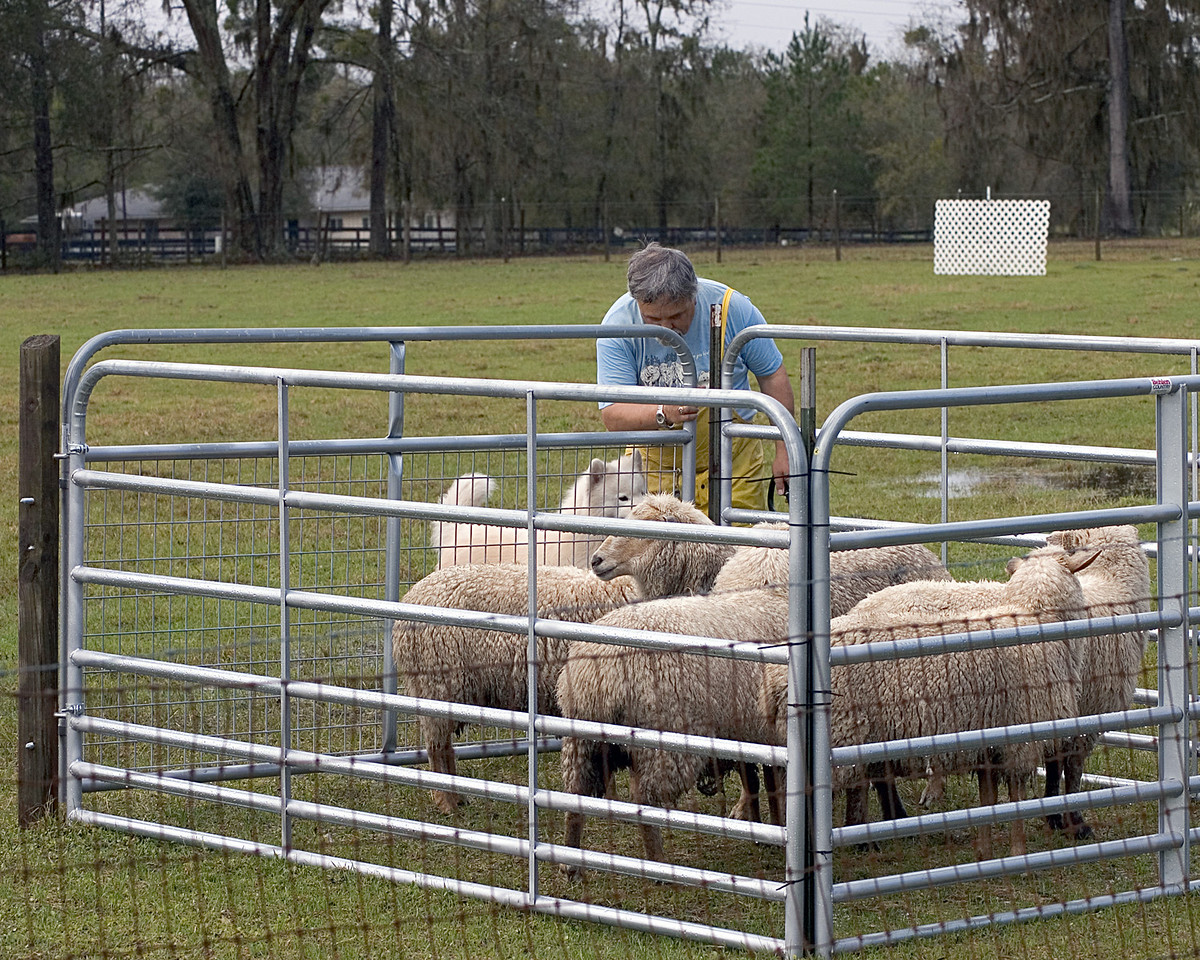 Cork and Louis get all of the sheep into the pen.