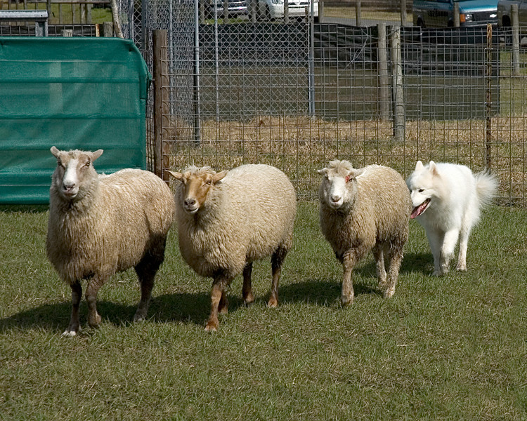 Fierce, a Samoyed, drives the sheep at a controlled pace.